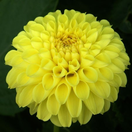 "Strahlend gelbe Pompondahlie ""Deepest Yellow"""