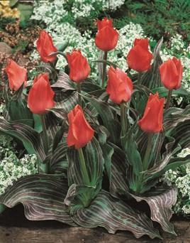 vorgetriebene tulpen kaufen