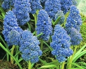"100 Traubenhyazinthen Muscari Armeniacum ""Blue Spike"", Gr. 8/9"