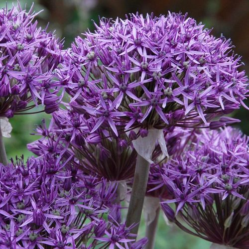 100 Allium Violet Beauty, Zierlauch Gr. 6+
