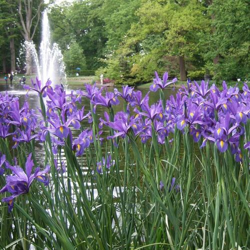 20 lila Schwertlilien Iris hollandica Discovery Purple®