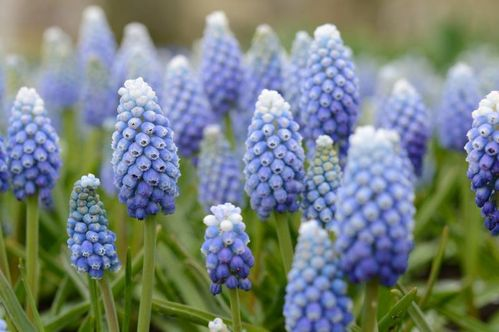 20 hellblau / weiße  Traubenhyazinthen Muscari Aucheri Ocean Magic Gr. 7/8