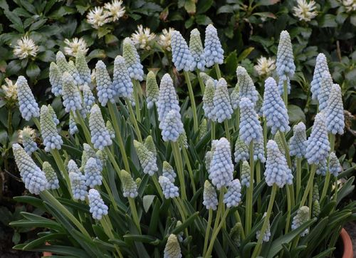 20 Traubenhyazinthen Muscari Armeniacum Peppermint Gr. 9/10