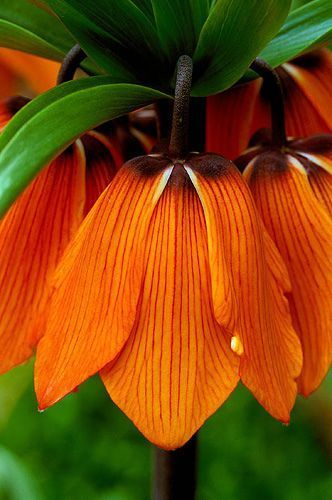"Imposante Orange Kaiserkrone Fritillaria ""The Premier"" Gr. 20-24  3 Blumenzwiebeln"