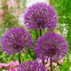 "Allium "" Powder Puff ""  Purpurfarbender  Kugellauch (5, 10, 50, 100 Blumenzwiebeln)"